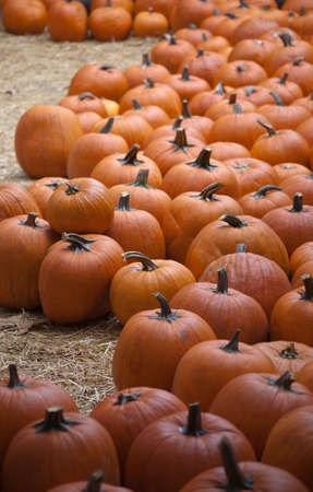 large pumpkin: A shot of a large pumpkin patch. Stock Photo