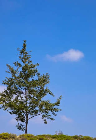 A shot of a lone tree on a hill with a blue sky and clouds for a background. photo
