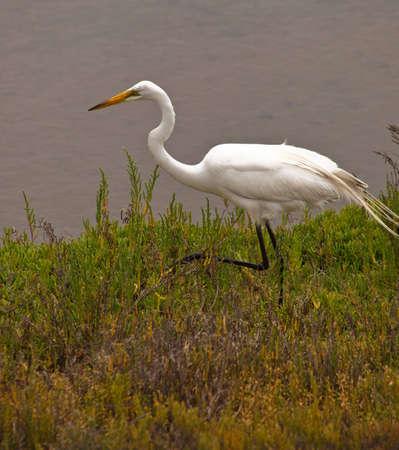 A close up of a white bird walking through the wet lands. photo