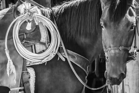A black and white shot of a horse saddled up