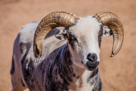A close up of a goat with big horns