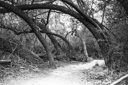 A black and white shot a bunch of tree's leaning to the left over a hiking trail.