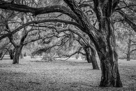 A black and white shot of a bunch of trees with the tree in the foreground looking like it has a skull coming out of the bark of the tree  Half way up the image in the middle  Banque d'images