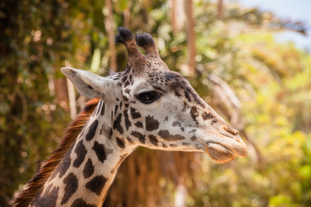 A close up shot of a giraffe with trees in the background  Banque d'images