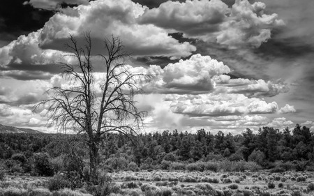 A black and white shot  of one lone burned tree and the forest in the background  Banque d'images