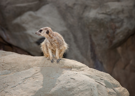 A close up shot of a meerkat sitting on a rock