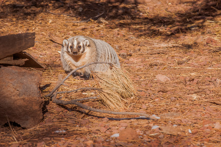 A shot of an American Badger.