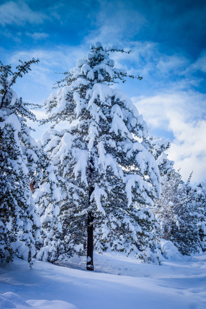 A close up of a snow covered tree with a blue sky background.