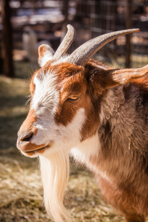 A close up shot of a goat.