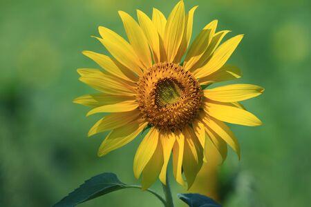 sunflower Stock Photo - 10285810