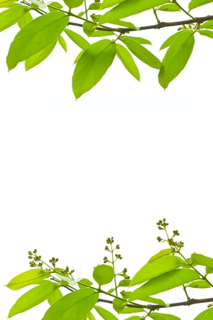 branch and green leaves on white background Stock Photo - 10315810