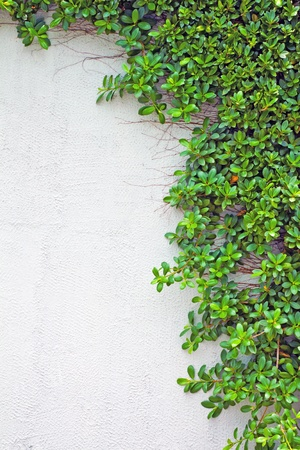 ivy wall: green creeper on the wall  Stock Photo