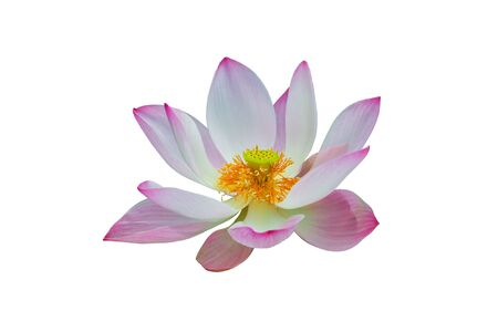 pink lotus isolated
