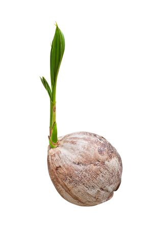 Sprout of coconut tree isolated  photo