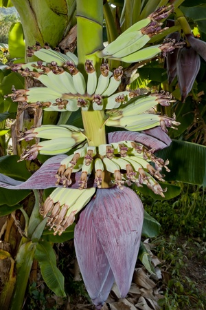 Banana flower and bunch photo
