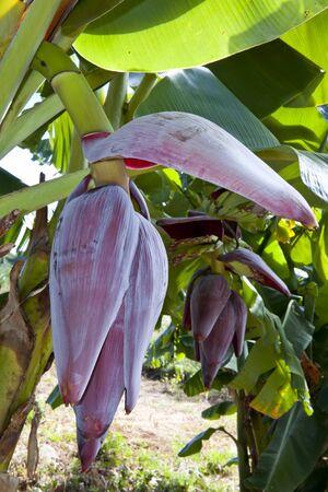 Banana flower and bunch photo