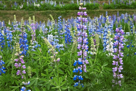 bluebonnet: Wild of Lupines  Stock Photo