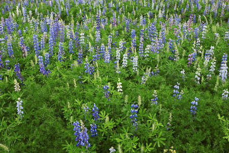 lupines: Wild of Lupines  Stock Photo