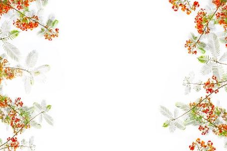 pulcherrima: pride of barbados flowers or caesalpinia pulcherrima