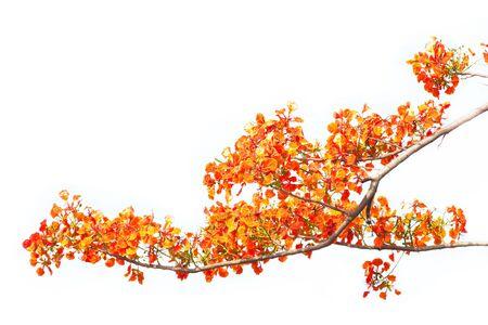 pulcherrima: orgoglio delle Barbados fiori o Caesalpinia pulcherrima Archivio Fotografico