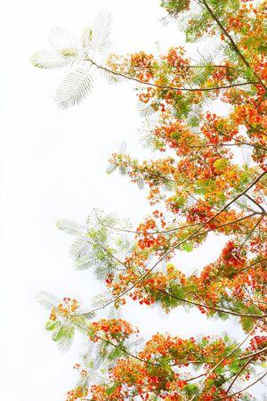 pulcherrima: orgoglio di fiori barbados o Caesalpinia pulcherrima