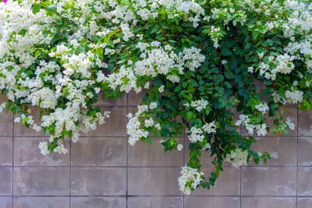 white bougainvillea flower on the wall photo