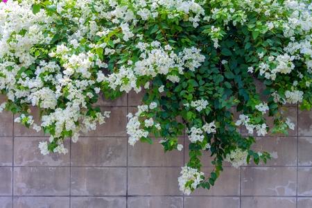 bougainvillea flowers: white bougainvillea flower on the wall