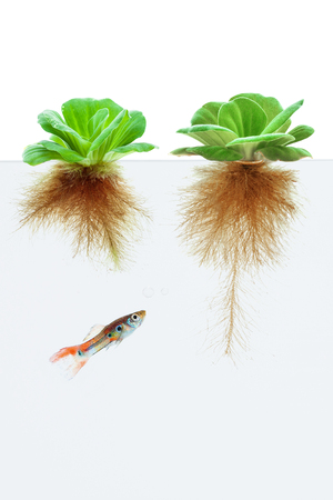 guppy fish: water lettuce and guppy fish on white background