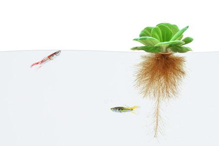 raices de plantas: lechuga de agua y los peces guppy en el fondo blanco