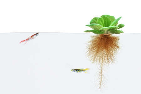 guppy: water lettuce and guppy fish on white background