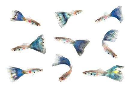 guppy fish: set of guppy fish on white background Stock Photo