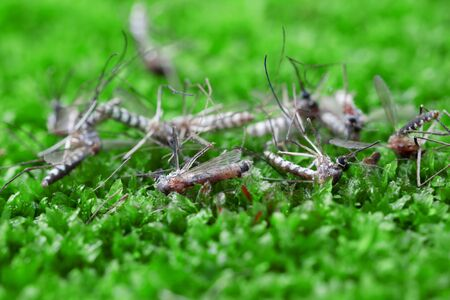 malaria: Dead mosquitoes on green grass background