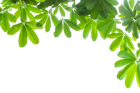 Green leaves and branch on white background with blank space.