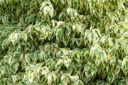 Close-up of Variegated Ficus Benjamina plant or weeping fig tree.
