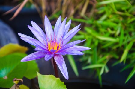 good feeling: Purple lotus. freshing and good feeling.