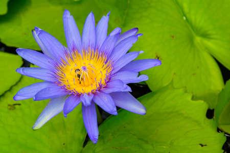 Beautiful Purple lotus photo