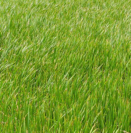 Green grass texture for background photo