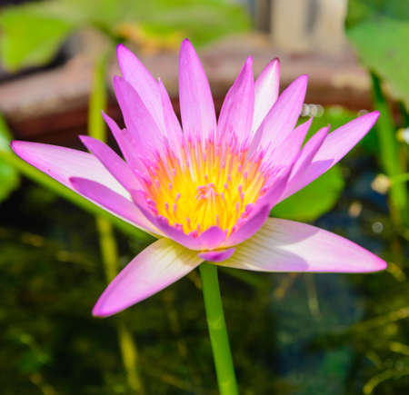 Pink lotus Stock Photo - 22204045