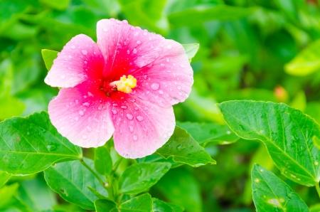 treelike: Hibiscus flower
