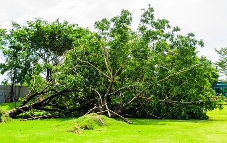 crack willow: Broken tree