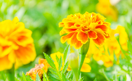 Beautiful Marigold flowers in the garden photo