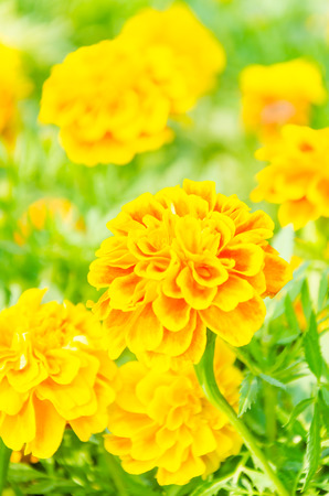 Beautiful Marigold flowers in the garden photo