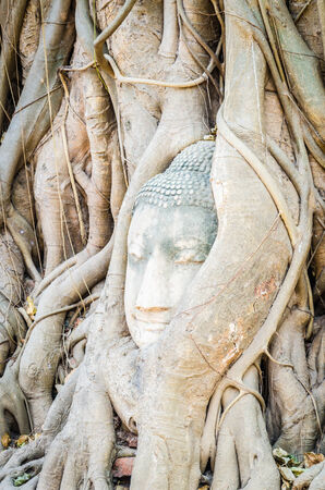Buddha head statue under root tree in ayutthaya, Thailand photo