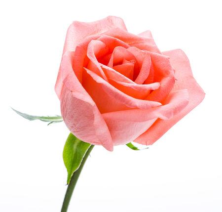 Rose isolated on white photo