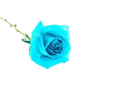 blue rose: Blue rose isolated on white