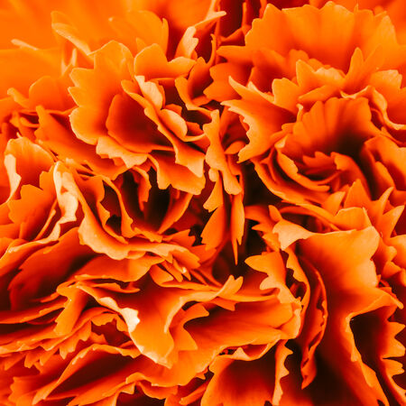 Close up carnation flower background - Vintage effect style pictures photo