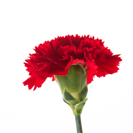 red  carnation: Red carnation flower isolated on white background Stock Photo