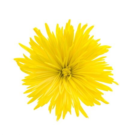 bright yellow: Yellow flower isolated on white background