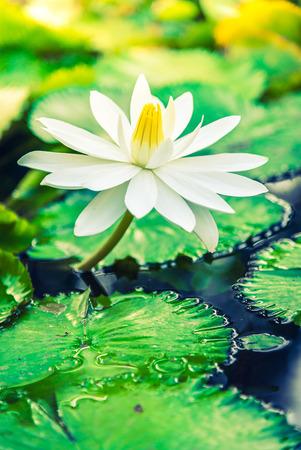 flor de loto: Blanca flor de loto - filtro vintage y efecto sunflare