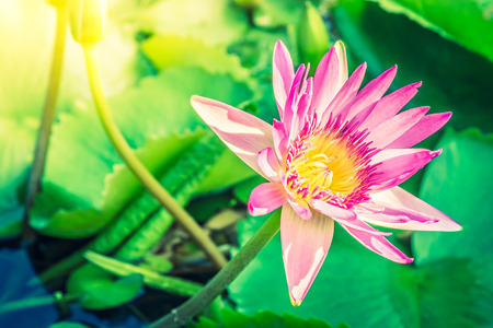 lotus effect: Lotus flower - vintage filter and sun flare effect